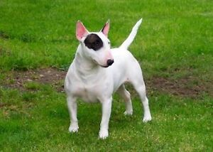LOOKING FOR A PUREBRED ENGLISH BULLTERRIER Lesmurdie Kalamunda Area Preview