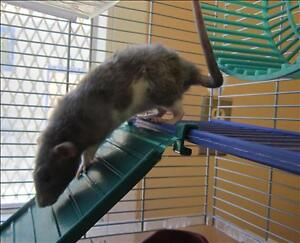 "Baby Female Small & Furry - Rat: ""Bean"""