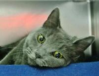 "Young Female Cat - Domestic Short Hair: ""Adele"""