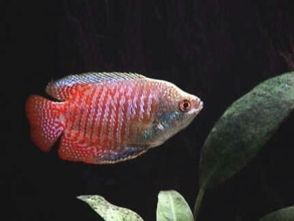 Tropical , Cichlid and goldfish sale this Sunday  Rocklea Brisbane South West Preview