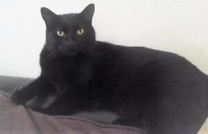 "Adult Male Cat - Domestic Short Hair: ""Boubou"""