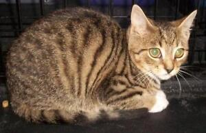 "Young Male Cat - Domestic Short Hair-Tabby: ""Tiny"""