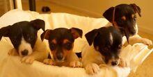 Mini Fox terrier puppies Baranduda Wodonga Area Preview