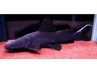 Approx 7 inch Black Devil Catfish - Crystal eyed catfish - Hemibagrus wyckii
