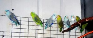 Parrotlets for sale various colours available