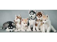 FREE HUSKY PUPPIES! GOING ABROAD PLEASE GIVE THEM A HOME!