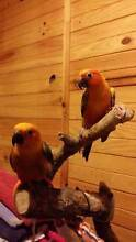 Hand Raised Bonded Pair Conures Belair Mitcham Area Preview