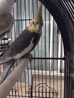 Male cockatiel with cage