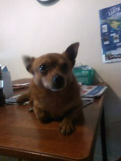 Chihuahua cross pom.male 3 years... Redfern Inner Sydney Preview