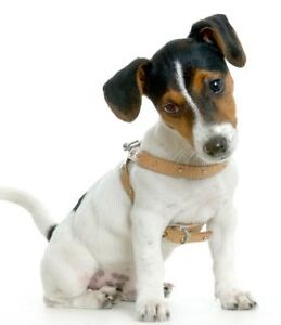 JACK Russell looking for a home