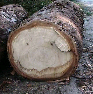 Wanted: Wanted: eucalypt tree stump