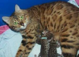 BENGAL CAT  PEDIGREE QUEEN BEAUTIFUL SWEET NATURE GREAT MOTHER