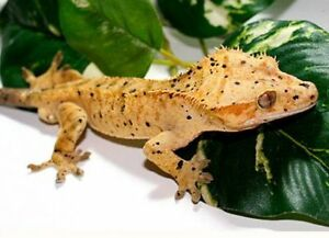 Dalmation Crested gecko