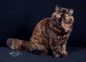 Wanted buy British shorthair or Scottish kitten Sunbury Hume Area Preview