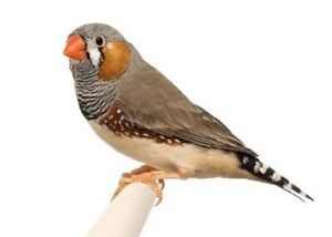 Zebra Finches $5 each Upper Caboolture Caboolture Area Preview