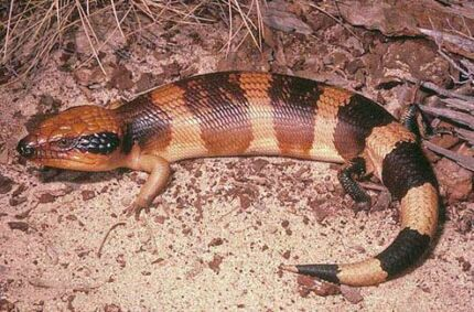 WANTED BLUE TONGUE LIZARDS OF ANY KIND  Werribee Wyndham Area Preview