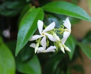 Star jasmine vine in full bloom healthy and large in very large pot