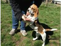 Male Beagle Puppy For Sale