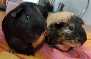 """Adult Male Small & Furry - Guinea Pig: """"Guinness"""""""
