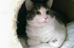 "Adult Male Cat - Domestic Short Hair: ""Wilson"""