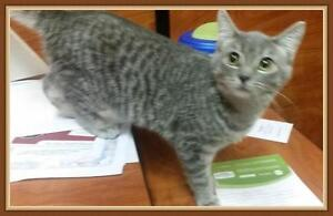 "Baby Male Cat - Tabby - Grey: ""Marshmallow"""