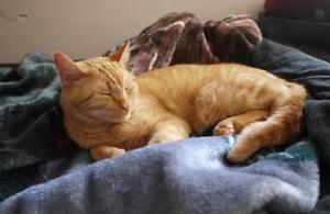 "Young Male Cat - Domestic Short Hair: ""Big Red"""