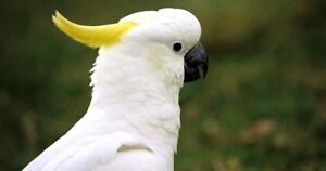 Looking for Sulphur Crested Cockatoo