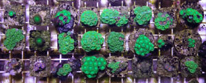 Zoanthids Coral Frags for Saltwater Reef Aquarium