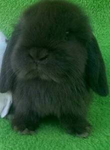 **❤❤** CHOCOLATE PURE BREED MINI LOPS  SANTAS STARTUP DEALS Londonderry Penrith Area Preview