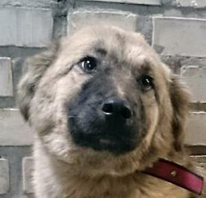 "Young Female Dog - Labrador Retriever-Shepherd: ""NORA"""