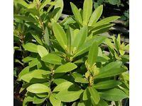 Evergreen - Illicium Parviflorum