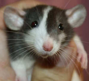 Looking for a baby female rat