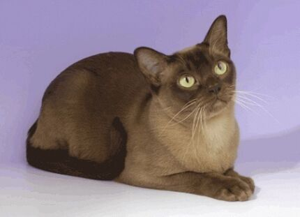 Looking for a Burmese Cat Ivanhoe East Banyule Area Preview