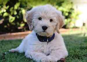 Family wanting a puppy Carey Park Bunbury Area Preview