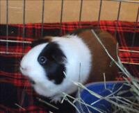 "Adult Female Small & Furry - Guinea Pig: ""Charlotte"""