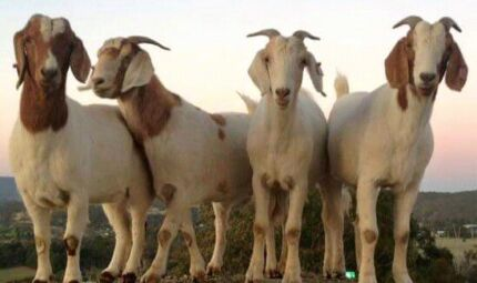 GOATS  AND MORE GOATS  Cecil Hills Liverpool Area Preview
