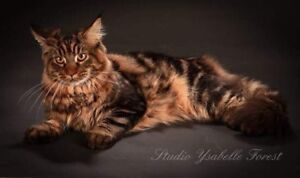 Chatterie Royal wild coon (Maine coon)