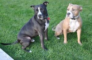 """Adult Female Dog - Pit Bull Terrier: """"Carmen and Diego"""""""