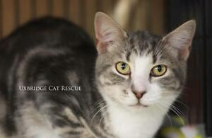 "Young Male Cat - Tabby - Grey: ""Silver"""