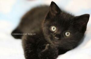 "Baby Female Cat - Domestic Short Hair-black: ""Inky"""