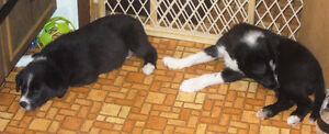 Border Collies, best companions, wonderful friends, playmates4U