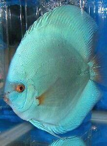 Discus fish ebay for Live discus fish for sale