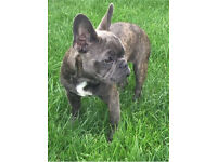 Beautiful blue KC reg French bulldog puppy
