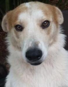 """Adult Male Dog - Labrador Retriever-Collie: """"Mex"""""""
