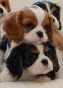 ***PUPPY WANTED*** King cavalier or x retriever