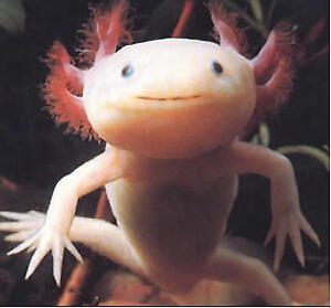 Axolotls on sale now at The Extreme Aquarium here in Sarnia