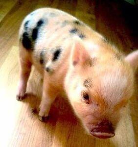 Pet Mini Micro Pigs - ONLY A FEW LEFT!!!