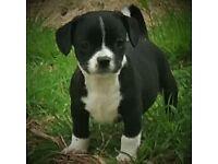 Pug/Cavalier X Chihuahua Puppies.