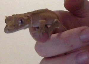 Baby Red Dalmatian crested gecko