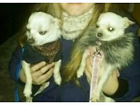Male and female chihuahuas